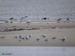 Gulls DSC09970 (clausholzapfel) Tags: bonapartes gull great blackbacked herring ringbilled forsters tern