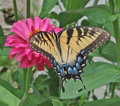 lady Tiger (Vicki's Nature) Tags: easterntigerswallowtail tigerswallowtail big butterfly female yellow black stripes blue pink zinnia blossom flower yard georgia vickisnature canon s5 8216 ngc