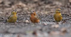 Common Crossbill (Ponty Birder) Tags: g b wheeler pontybirder garywheeler birds crossbill gloucester england loxiacurvirostra inexplore