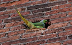 Migratore involontario (lincerosso) Tags: uccelli birds avifaunaurbana parrocchettodalcollare psittaculakrameri pacia centrostorico ospiteextracomunitario bellezza armonia esitismo