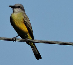 Kingbird (Western or Tropical) (asterisktom) Tags: bird vogel ave 鸟 птица 鳥 pajaro tripnicaraguanorthward20182019 2019 january chalchuapa laguna kingbird flycatcher