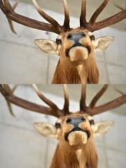 """A BOY CALLED """"CERVUS"""" (LitterART) Tags: hirsch cervus jagd hund geweih horn smile nikond800 fx"""