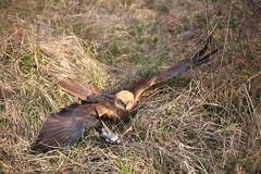 Falco di palude.(Circus aeruginosus).Marsh Harrier (Circus aeruginosus) (terziluciano) Tags: falcodipalude circusaeruginosus rapaci ucello oasisilcodibugnolo maserada piave salettuol canon6dmarkii marshharrier