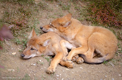 wolf cubs - Lazy afternoon (MusesTouch - digiArt & design) Tags: wolfcubs sleeping canislupus mammal brotherlybond mongolianwolf