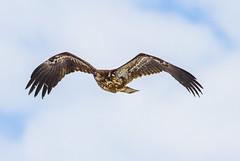 Wings Aganist The Sky (John Kocijanski) Tags: immaturebaldeagle baldeagle sky clouds wildlife bird birdofprey nature wings canon400mmf56 canon7d animal