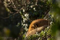 Sleeping Red Fox (Vulpes vulpes) (PeterBrooksPhotography) Tags: vulpesvulpes 200500 d500 eastsussex garden morninglight nikon peterbrooksphotography season sun sussex uk universityofbrighton wildlife winter behaviour habitat mammal redfoxvulpesvulpes sleeping wild â©peterbrooks