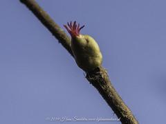 Hazelaar (Corylus avellana)-♀-819_0332 (www.kijknaarnatuur.nl) Tags: heester boom tree boomknop bloemknop blossum bos forest springtime voorjaar macro wildlife