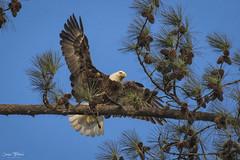 Berry Male Bald Eagle - 2 (Jason Blalock) Tags: haliaeetusleucocephalus eagle baldeagle berrybaldeagle berrycollegebaldeagle raptor bird birdofprey avian
