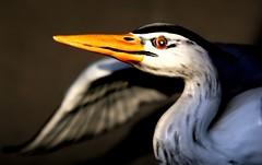 grey heron (HansHolt) Tags: greyheron heron blauwereiger reiger bird vogel eye beak wing porcelain figurine goebel hummel macro canoneos6d canonef100mmf28macrousm macromondays hardlight hmm