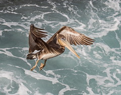 Pelican_52 (SamOphoto2011) Tags: canon california lajolla birds brownpelican pelecanusoccidentalis casabeach 7dmarkii 100400lmarkii pelicans