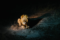 Lion (DEARTH !) Tags: africa krugernationalpark southafrica travel dearth safari lions animals lion