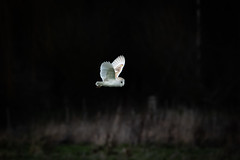 Tyto alba (Barn Owl) - Tytonidae - Deeping Lakes SSSI, Lincolnshire, UK (Nature21290) Tags: aves barnowl deepinglakessssi february2019 lincolnshire tyto tytoalba tytonidae uk