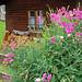 Ehrwald - Ortsmitte (07) - Blütenpracht