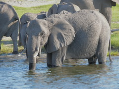 HAVING BATH (alessandra conti) Tags: wild animals africa big5 nature natura river