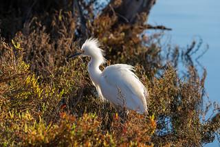 Snowy Egret in the Foliage