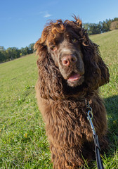 Dobby (Yvonne L Sweden) Tags: cockerspaniel autumn mariefred pet dobbylarsson dog sweden dobby fall nature