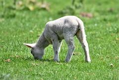 Lamb in the sunshine. (pstone646) Tags: lamb animal mammal feeding meadow grass farmanimal baby young sunshine