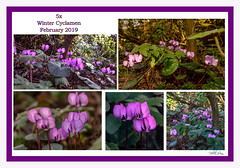5 x Winter Cyclamen (pollylew) Tags: growing shady part garden