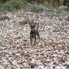Ooligan Square (Philippe Bélaz) Tags: ooligan pragois ratierdeprague animal animaux animauxdecompagnie brun carré centré chiens chocolat forêts minimalisme square