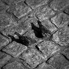 Sparrows (ECKE86) Tags: stadt city paar pair looking jagen hunting 2018 norway kristiansand schwarzundweiss weiss schw monochrome blancetnoire blackandwhite blackwhite grey white black 2 two zwei pflastersteine pflaster spatzen sparrow sparrows cobblestone