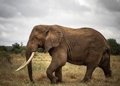 Male African bush elephant (Loxodonta africana) (momathew) Tags: loxodonta loxodontaafricana africanbushelephant africanelephant elephant pachyderm herbivore largest largestlandanimal africa kenya selenkay safari