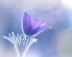 Pulsatilla cernua (Tomo M) Tags: flower plant light bokeh garden purple helios spring waterdroplets droplets おきな草
