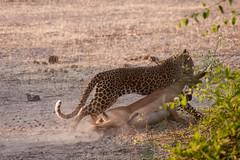 successful hunt (renatecamin) Tags: botswana leopard afrika safari