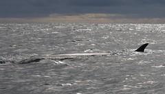 Antarctic Minke Whale just below the surface (Paul Cottis) Tags: elephantisland marine mammal southshetlandislands antarctica southernocean paulcottis 31 january 2019 jan swim swimming whale cetacean minke