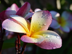 Beauty is not caused. It is. (Emily Dickinson) (boeckli) Tags: flowers frangipani waterdrops wassertropfen plants pflanzen pflanze plant nature natur blumen blume blüten blossom bloom blossoms blooms plumeria outdoor sunshine flower flora fleur 010682 rx100m6 emilydickinson beauty doublefantasy ngc