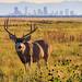 Deer - Rocky Mountain Arsenal - Denver, Colorado