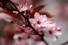 cherry blossoms (bascat) Tags: bascat bas macro canon sigma 70mm f28 flowers british spring pink garden trees bokeh