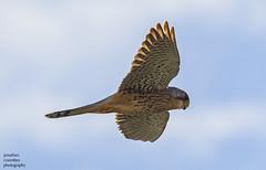 Kestrel (M) (jonathancoombes) Tags: kestrel raptor wildlife nature wings explore sky