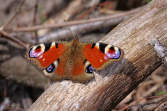 Tagpfauenauge (Inachis io) (AchimOWL) Tags: schmetterling insekt insect tier tiere animal makro macro landschaft waldrand outdoor g9 natur nature lumix ngc macrodreams panasonic tagfalter tagpfauenauge butterfly fauna dcg9