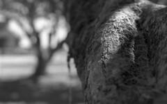 Spot of Light (PositiveAboutNegatives) Tags: leica leitz leicaflex slr leicaflexsl 50mm 50mmsummicron leicar tree bokeh film analog bw blackandwhitefilm foma fomapan fomapan100 rodinal coolscan florida