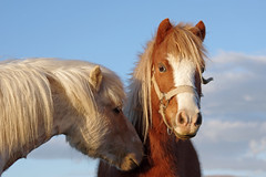 Tendresse (bernarddelefosse) Tags: tendresse chevaux nature