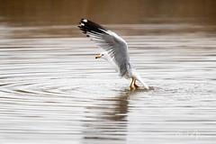 Perfecting the Crane Pose (RH Miller) Tags: rhmiller reedmiller wildlife bird water idaho usa seagull