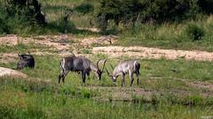 Cobes Defassa mâles (gilbert.calatayud) Tags: animal mammifères mammals mamiféro cobe defassa mâle waterbuck bovidés artiodactyles antilope singsing à croissant parc kruger afrique du sud