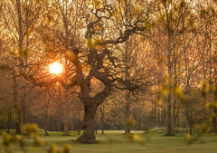 Spring Moments (Rob Pitt) Tags: rivacrevalley sunrise wirral cheshire oak tree sun 70200 f4 l sony a7rii