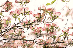 Mom's letters. (jeanne.marie.) Tags: branches nostalgia nostalgic white green multipleexposures dogwood tree pink floweringtrees texture mom letter momsletters text script handwriting flowers 100xthe2019edition 100x2019 image37100