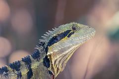 Eastern Water Dragon (R. Francis) Tags: intellagamalesueurii easternwaterdragon queenmaryfalls southeastqueensland qld queensland ryanfrancis ryanfrancisphotography killarney