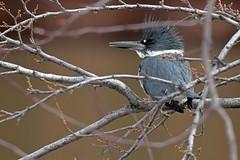 Belted kingfisher (Megaceryle alcyon) male (rangerbatt) Tags: beltedkingfisher megacerylealcyon kingfisher bird saltlakevalley jordanriver utahwildlife wildutah d7500 sigma150600mmsports