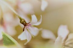 artsycherryweb (dozmozo) Tags: cherryblossom lensbaby macro flower artsy spring pink wildcherry