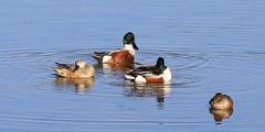 Shovelers (Wild Chroma) Tags: anas clypeata anasclypeata shoveler duck birds nonpasserines ludo algarve riaformosa portugal