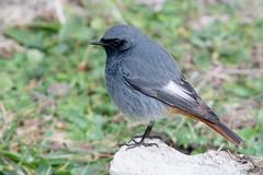 Black Redstart-256 (davidgardiner8) Tags: birds blackredstart chats robins shorehamfort westsussex