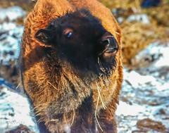 Not a One Trick Pony . . . (Dr. Farnsworth) Tags: bison baby mom olsen ranch sunshine head rub traversecity mi michigan winter january2019