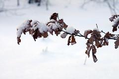 Tammeoks (Jaan Keinaste) Tags: pentax k3 pentaxk3 eesti estonia loodus nature talv winter tamm oak oks bough lumi snow