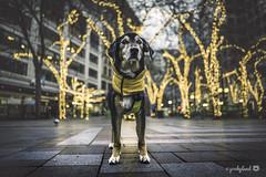 1/12B Jasper - let the light shine on me (yookyland) Tags: 12monthsfordogs 2019 jasper 112 dog morning city tree lights