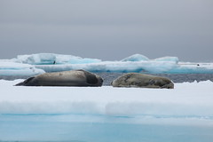 IMG_3304 (y.awanohara) Tags: adelie adeliepenguins penguins antarctica antarcticpeninsula wildlife january2019 icebergs ice icefloes crabeaterseals