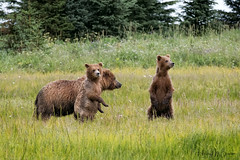 _HB37246 (Hilary Bralove) Tags: wildlife nikon nature lakeclarknationalpark alaska alaksa brownbears grizzlybears bear bears grizzly