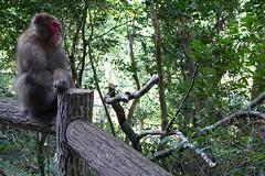 Nihonzaru (eeshawn.) Tags: japan osaka monkey macaque park minoo eeshawn